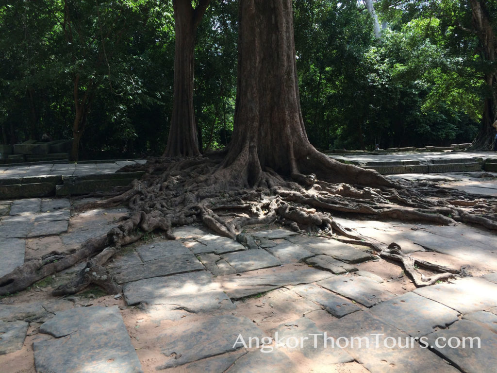 Showing Large Tree In Causeway Ta Prohm