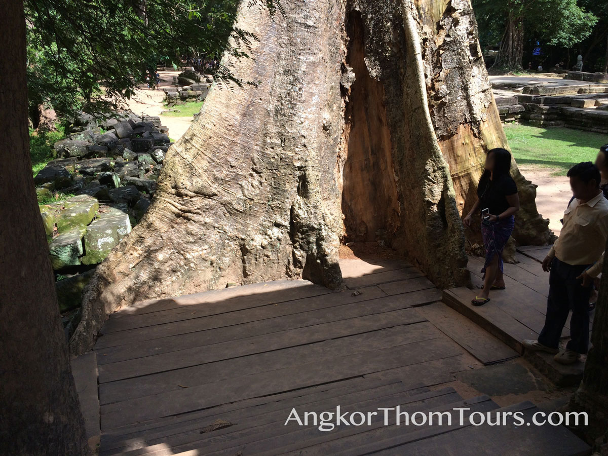 Showing Scale Of Massive Tree Base Next To Person Ta Prohm